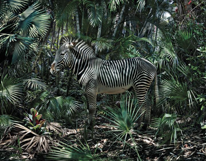 Zebra: Strepen, met vleugels en kan je zebrarijden?