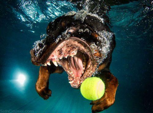 Rottweiler onderwater