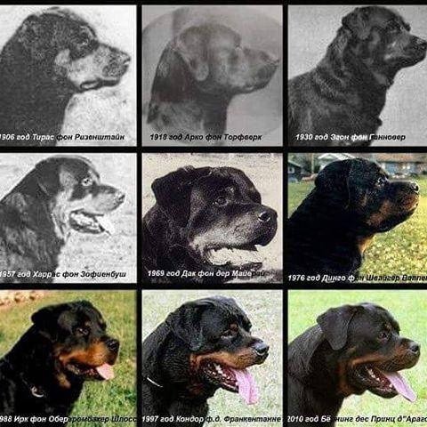 Rottweilers door de jaren heen