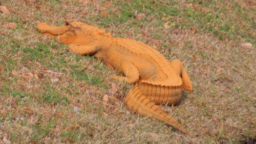 oranje krokodil