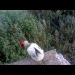Vliegende kip