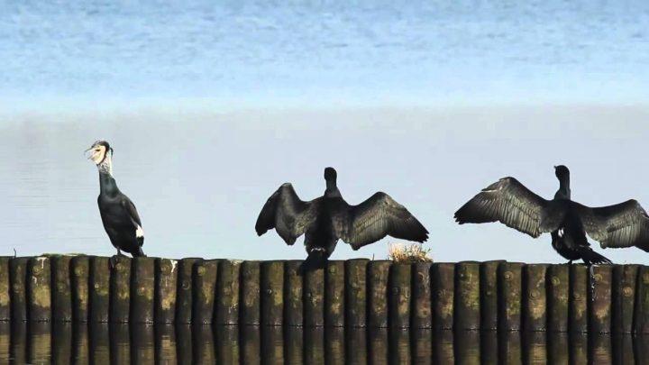 Waarom spreidt de aalscholver zijn vleugels
