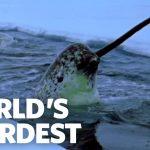 Eenhoorn van de zee: de narwal