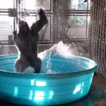 Dansende gorilla
