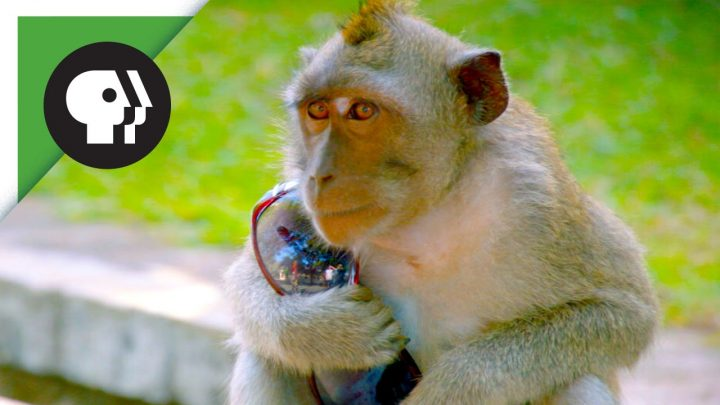 Stelende aap