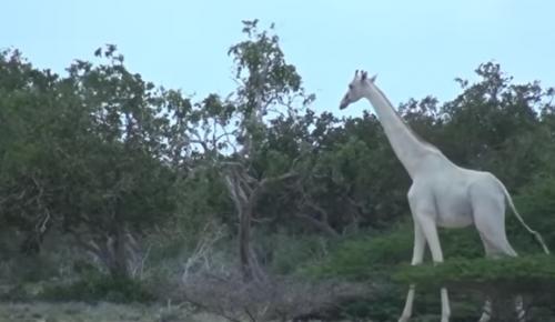 witte giraffe