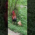 Kip heeft geen zin in haan...