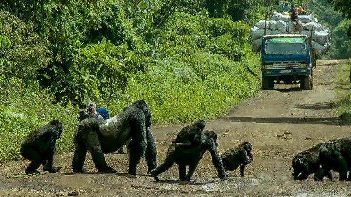 Gorilla stopt het verkeer