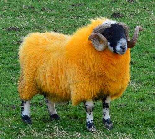 oranje schaap