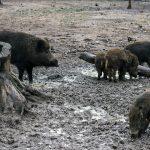 Zwijnensociëteit zet zich voor het welzijn van het wilde zwijn