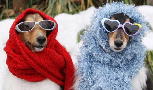 Honden met zonnebrillen