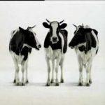 Dansende en zingende koeien