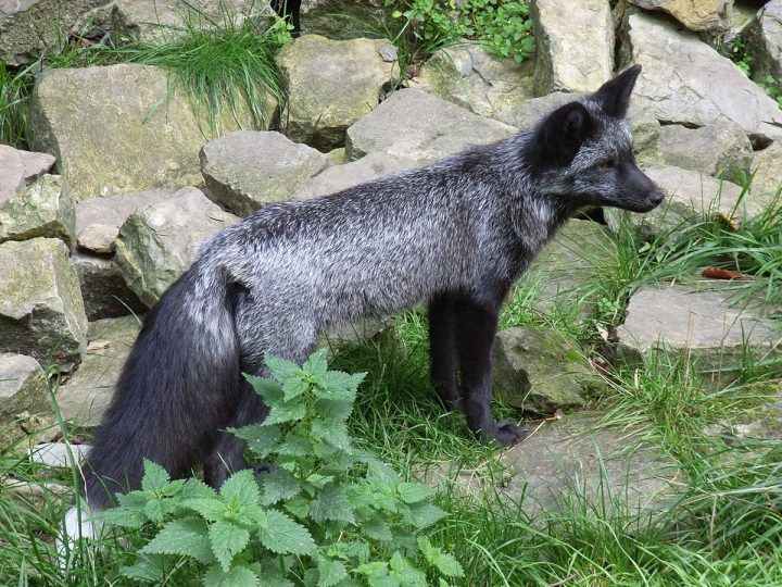 De vos als huisdier. Kan dat?