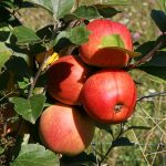 Doe mee aan de fruitbomenactie en red een boom