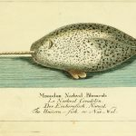 De zee-eenhoorn, beter bekend als de narwal