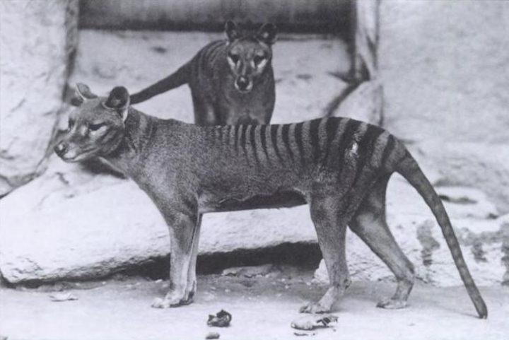 Is de Tasmaanse tijger echt wel uitgestorven?