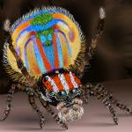 Pauwspin: kleurrijke schattige spin uit Australië