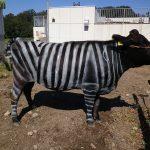 Koe vermomd als zebra tegen de vliegen